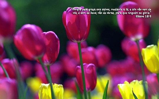flower_tulips_w